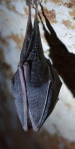 Bat Upside Down Cropped 520x1024